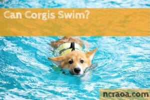 can corgis swim