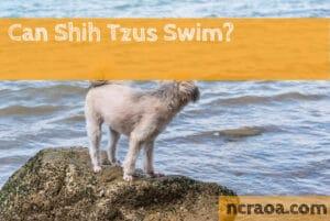 can shih tzus swim