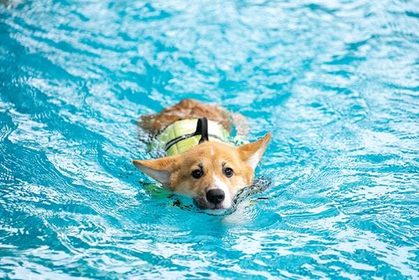 corgi in swimming pool