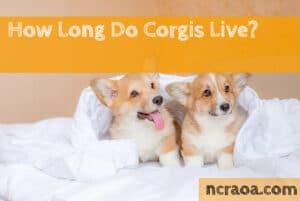 how long do corgis live