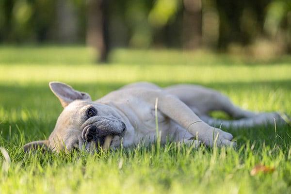 dog lying in field