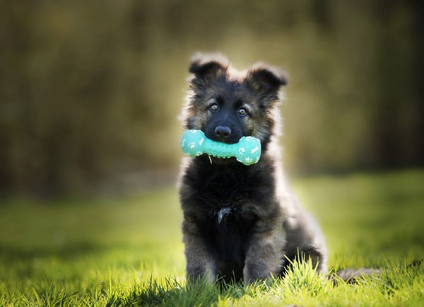 puppy with squeaky toy