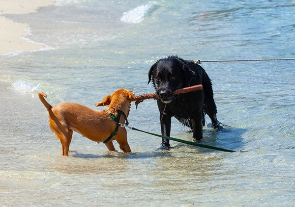 two dogs playing tug of war at beach