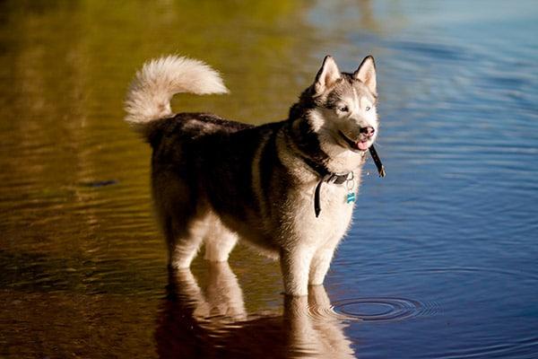 husky in water