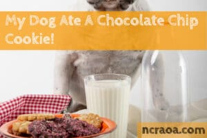 dog ate chocolate chip cookie