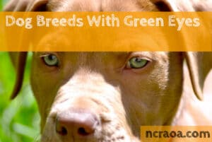 dog breed with green eyes