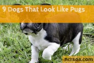 dog breeds look like pugs