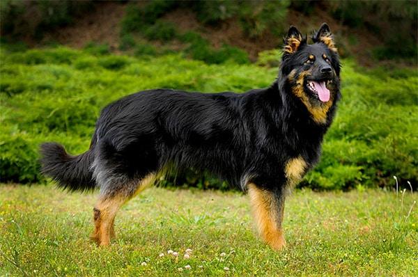 Bohemian Shepherd dog breed