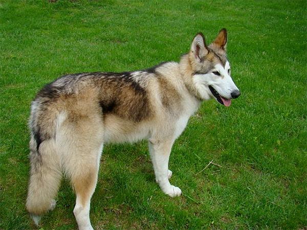 Kugsha dog breed Amerindian Malamute or American Husky