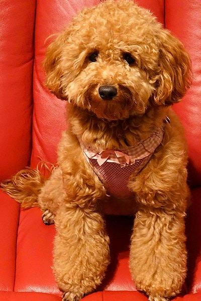 Miniature Goldendoodle dog breed