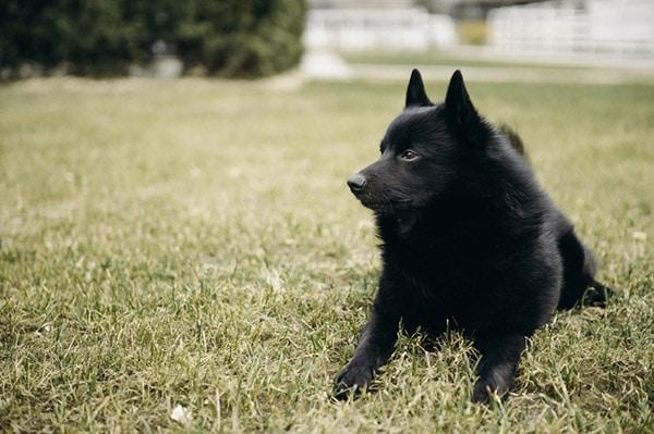 Schipperke dog breed in grass