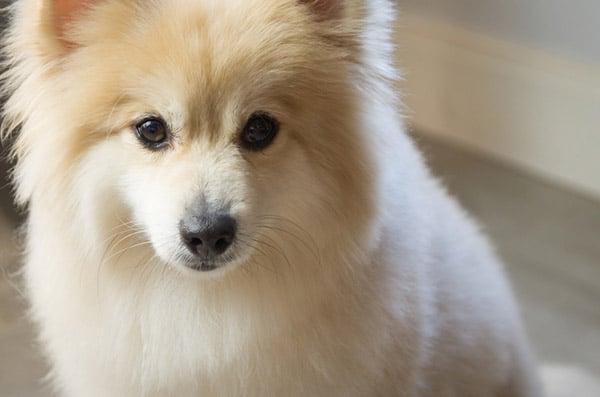 German Spitz dog breed