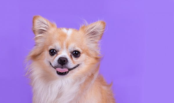 Chihuahua looks like fox