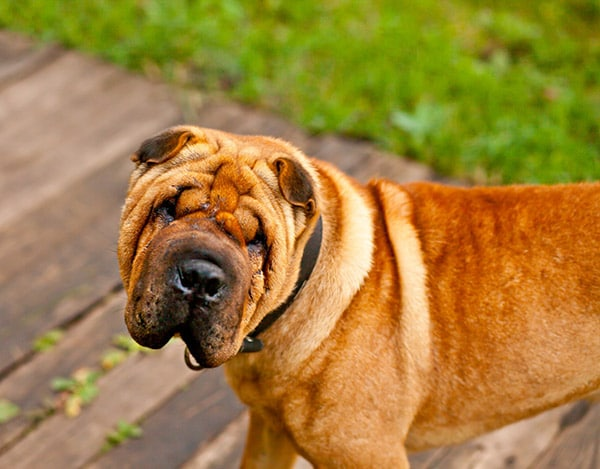 Shar-Pei dog breed