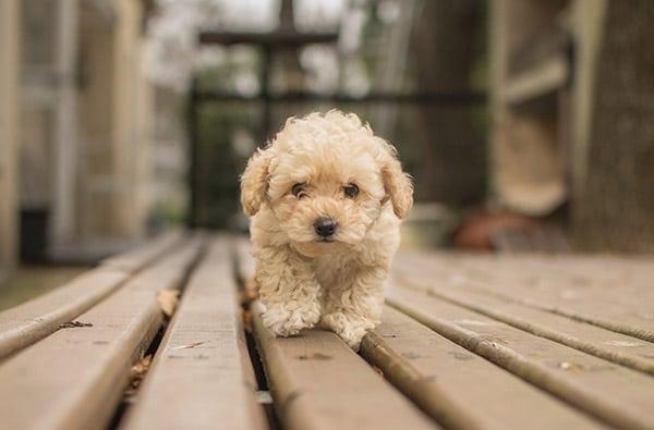 Shih-Poo dog breed