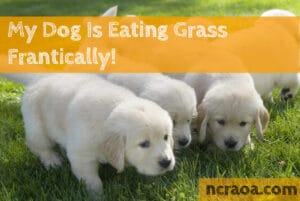 dog frantically eating grass