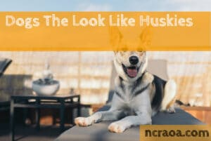 dog breeds look like huskies