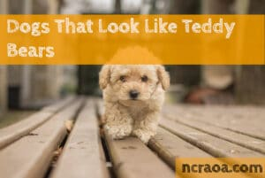 dog breeds look like teddy bear