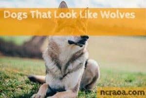 dog breeds look like wolf