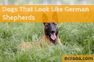 dog breeds look like german shepherd