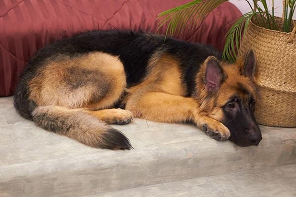 King Shepherd dog breed
