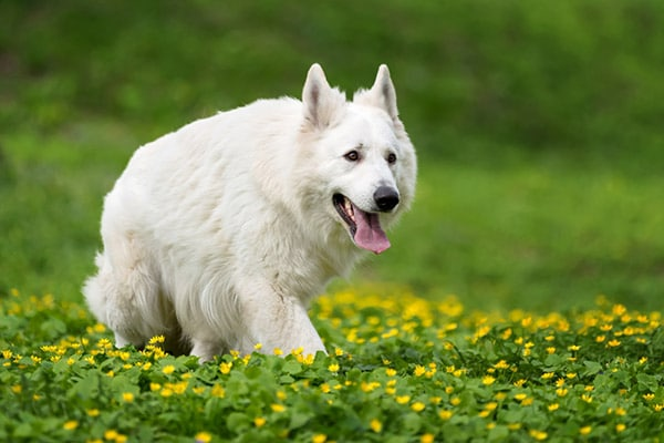 Berger Blanc Suisse dog breed
